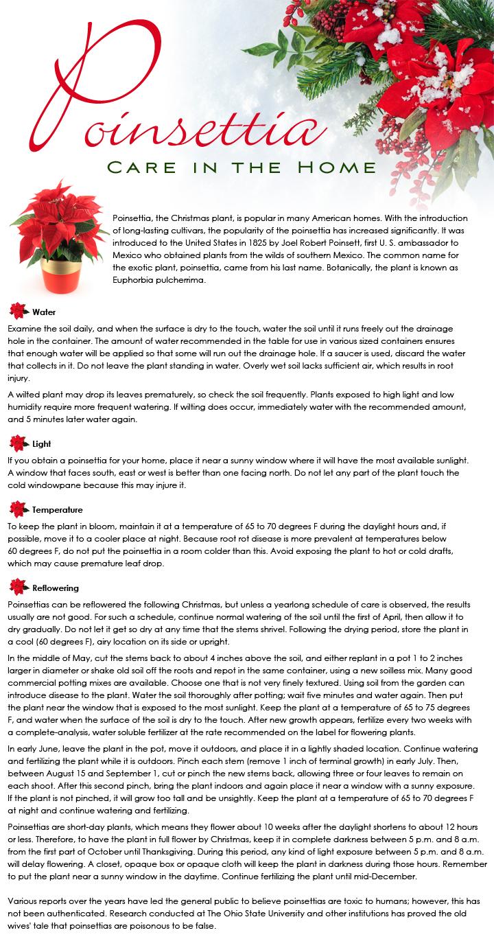 Poinsettia Care in the Home - Beneva Flowers - Sarasota Florida ...